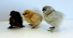 poule soie ornement